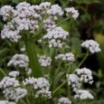 Growing Valeriana officinalis