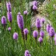 Growing Liatris spicata