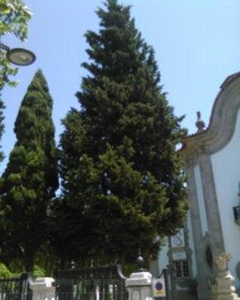 European silver fir picture