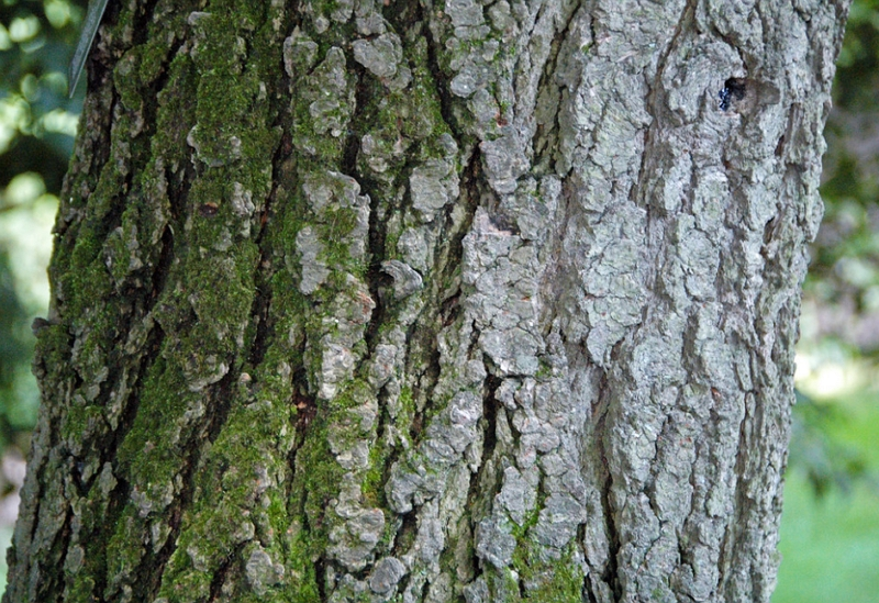 Abies concolor white fir bark