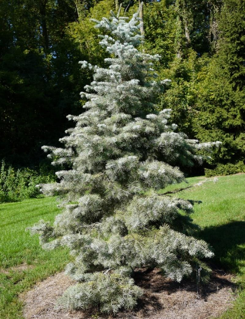 Compact white fir