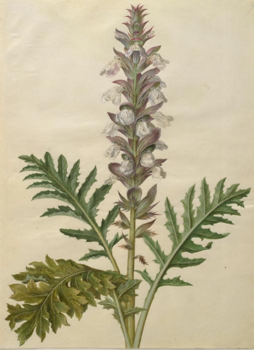 Acanthus hungaricus Art