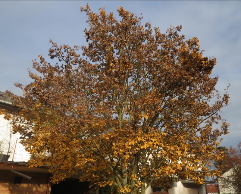 Acer campestreh