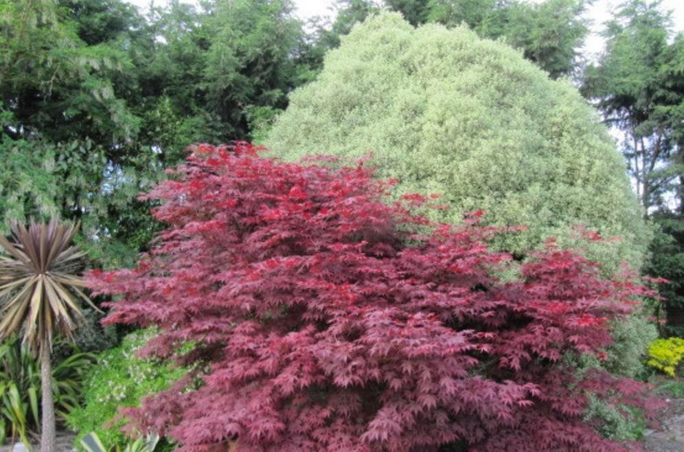 Acer Palmatum Atropurpureum How To Grow Purple Japanese Maple