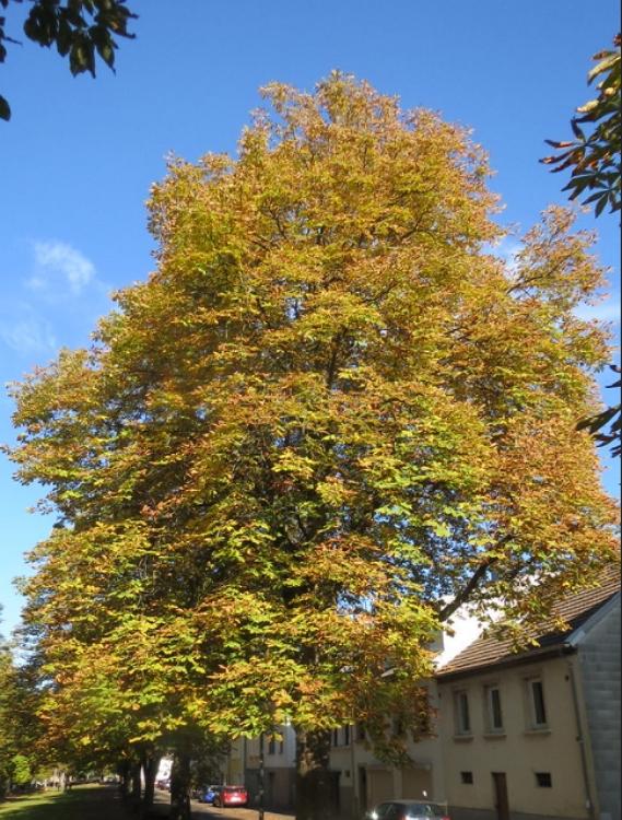 Aesculus hippocastanum tree Autumn