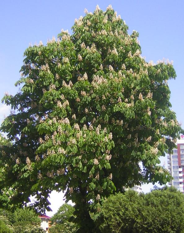 Aesculus hippocastanum tree in bloom