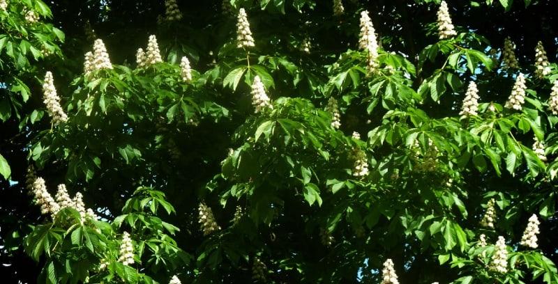 Baumanns horse chestnut