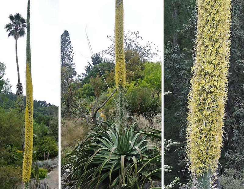 Agave attenuata in the wild