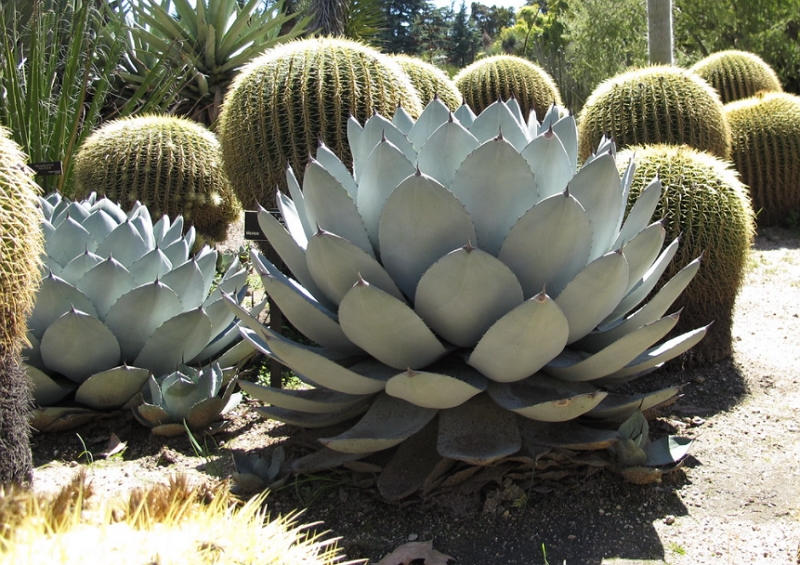 Agave parryi growing outdoors