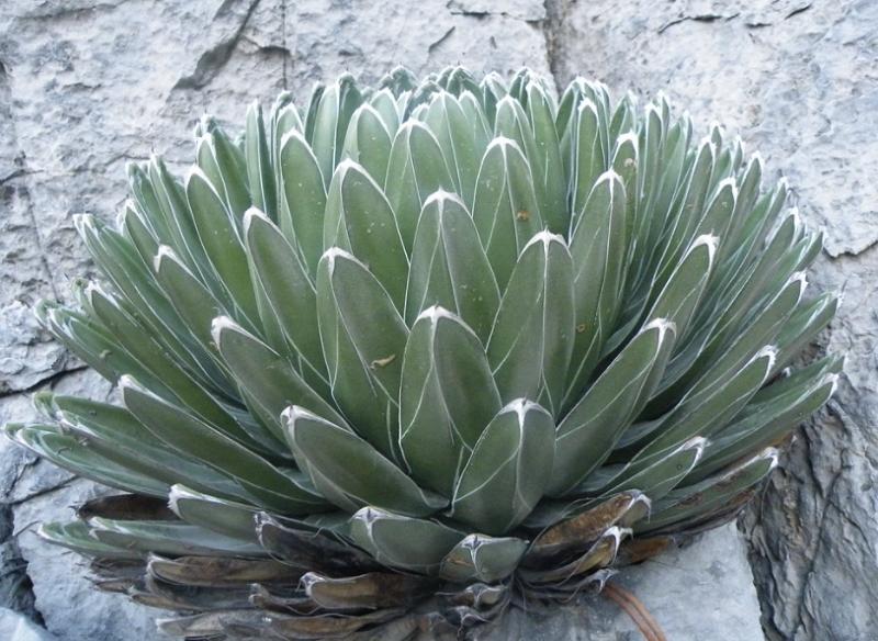 Agave victoriae-reginae plant