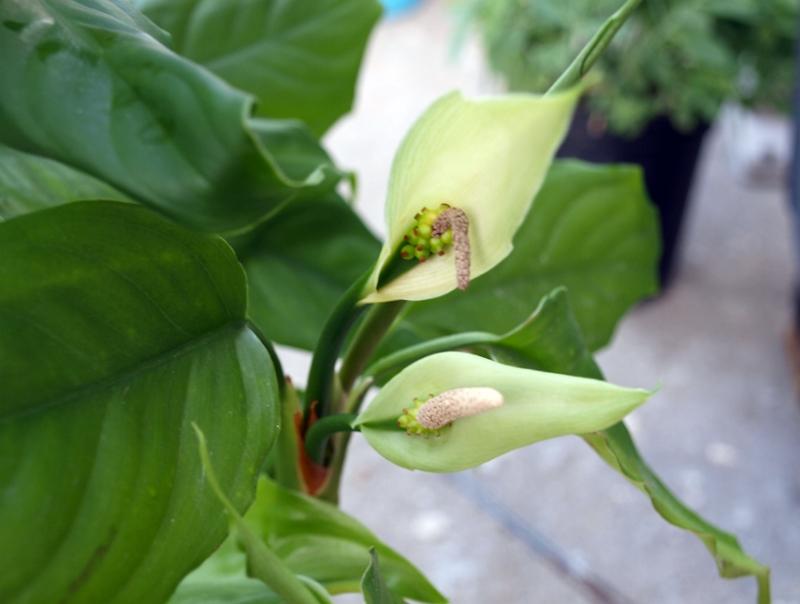Aglaonema modestum plant in bloom