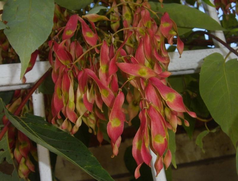 Ailanthus altissima seeds samara