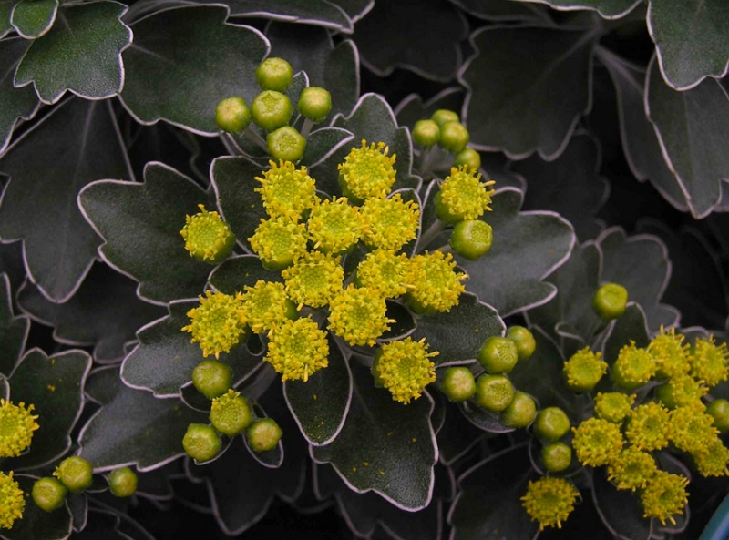 Ajania pacifica flowers close up