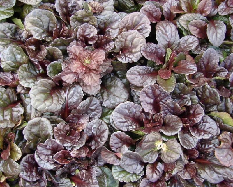 Ajuga reptans Mahogany Leaves cover plant