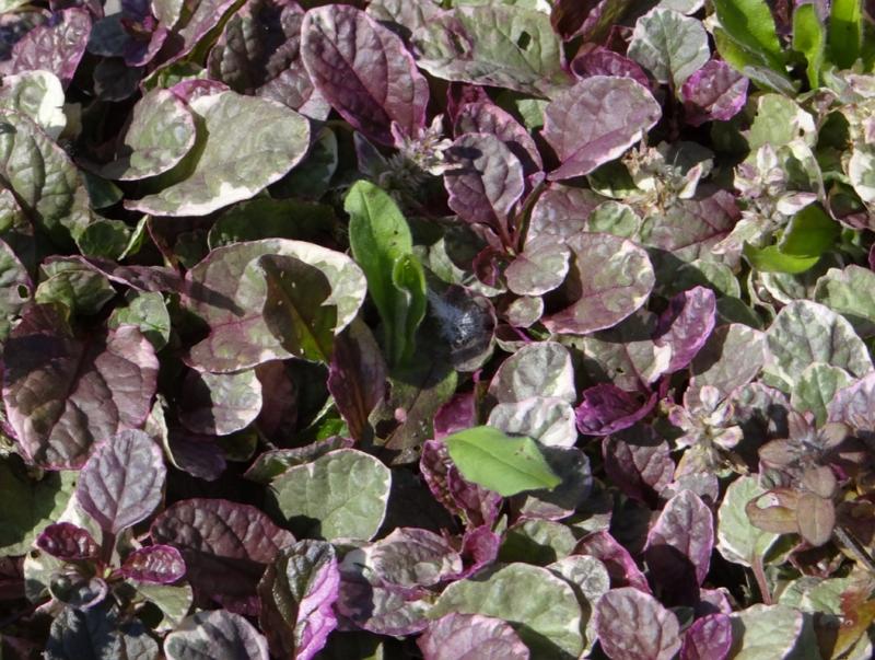Ajuga reptans Burgundy Glow leaves