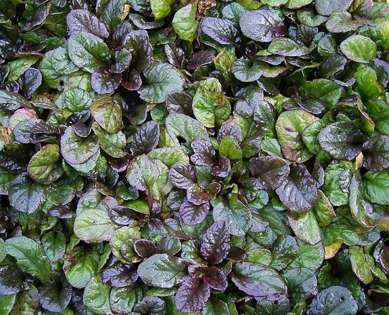 Ajuga reptans Atropurpurea as a cover plant