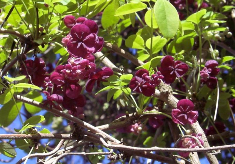 Akebia quinata purple flowers