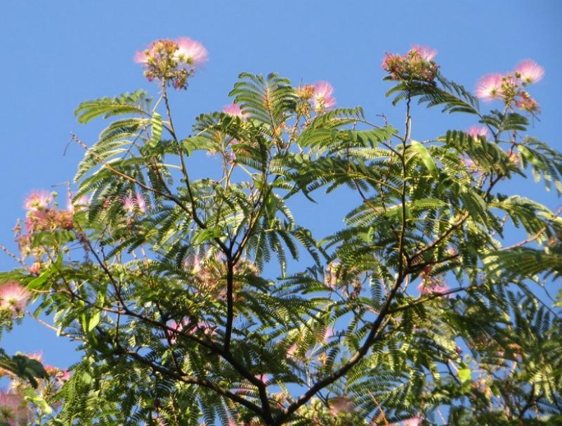 Albizia julibrissin in bloom