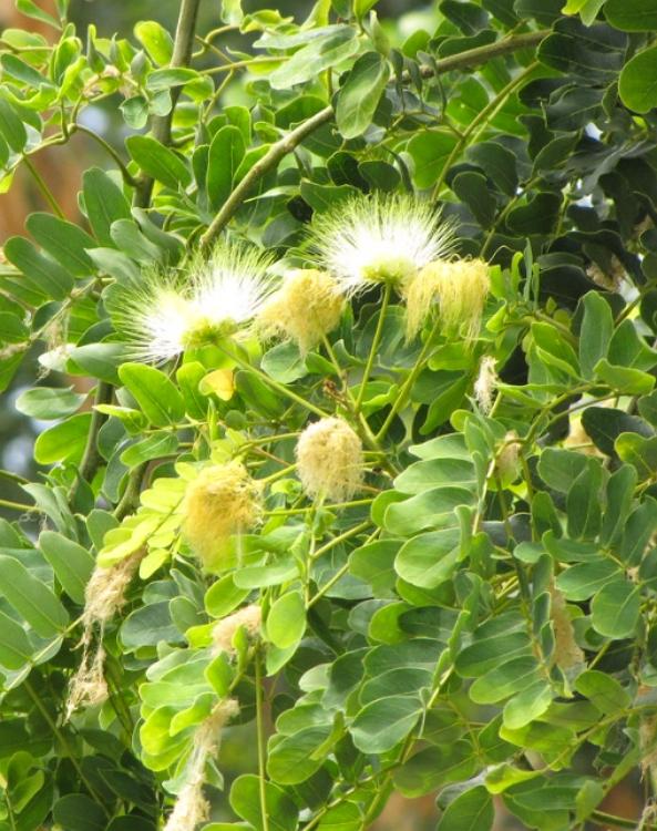 Albizia lebbeck in bloom