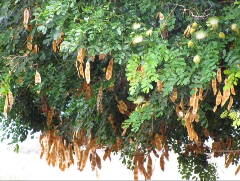 East indian walnut