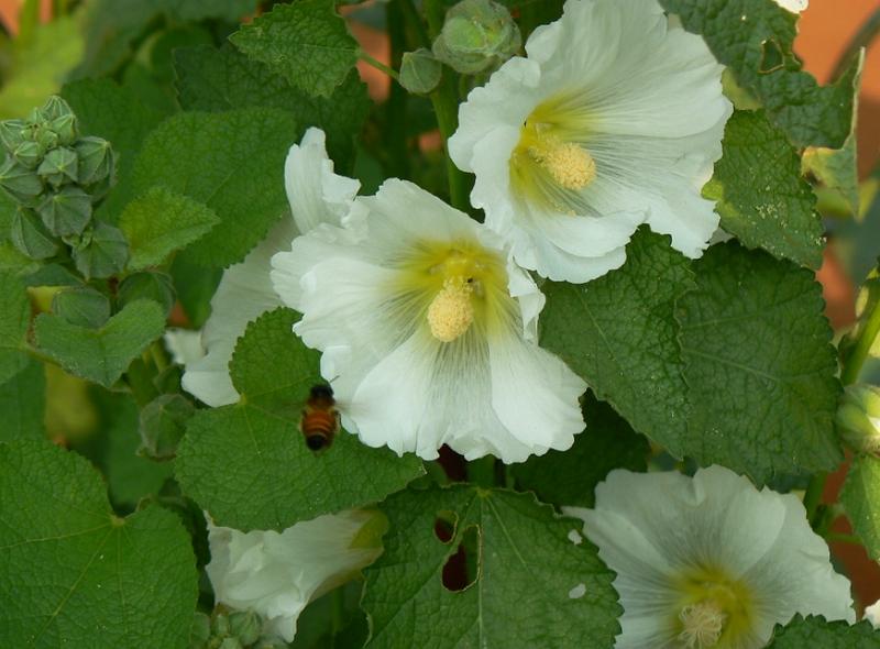 White flowered Alcea rosea