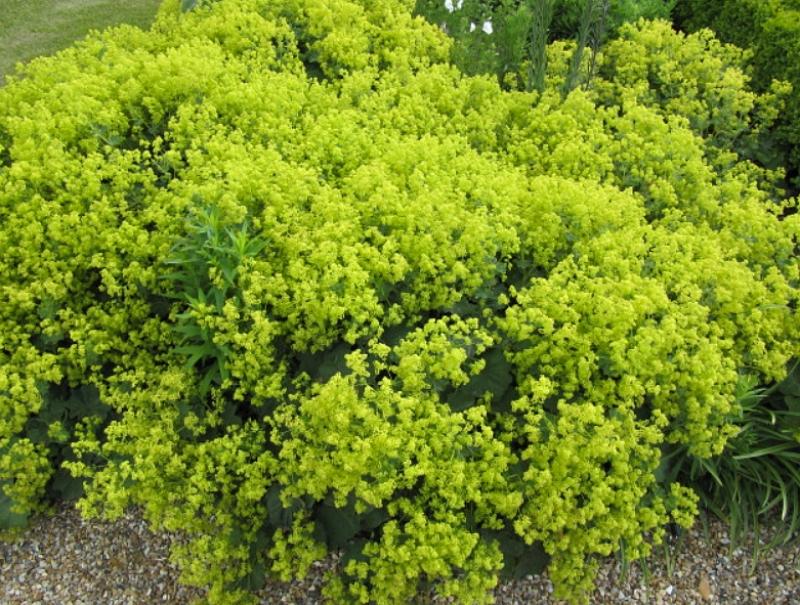 Alchemilla mollis plant