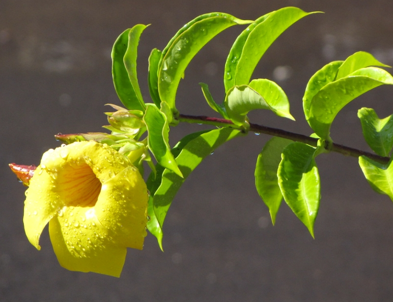 Allamanda cathartica flowers and leaves
