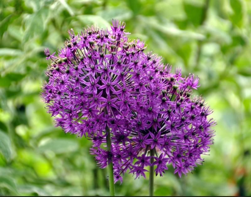 Allium Aflatunense Purple Sensation cultivar