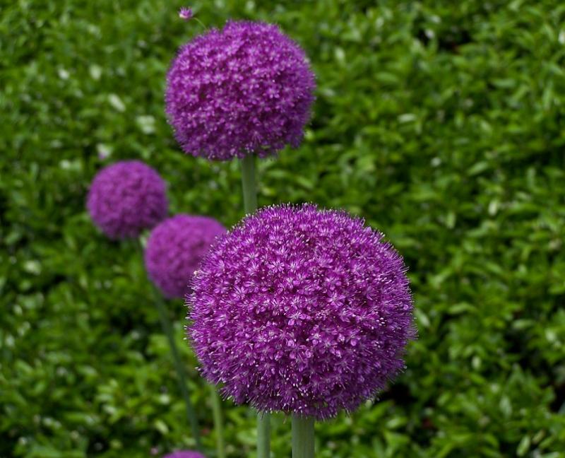 Allium aflatunense flower