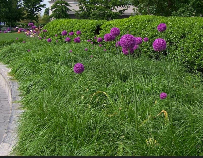 Persian onion, purple sensation