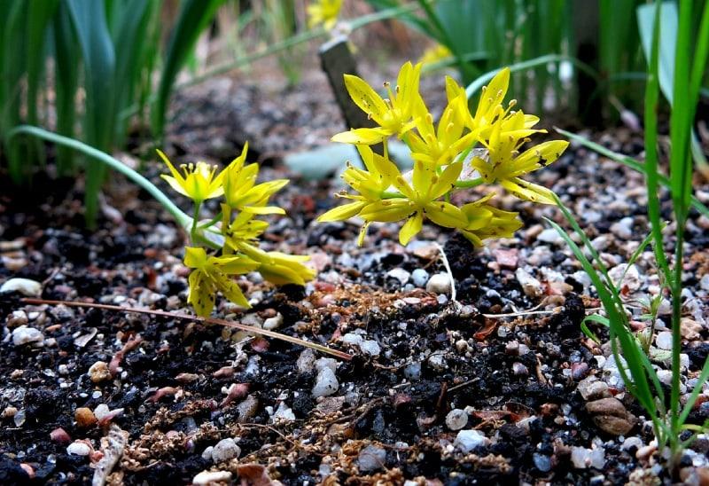 Yellow garlic jeannine