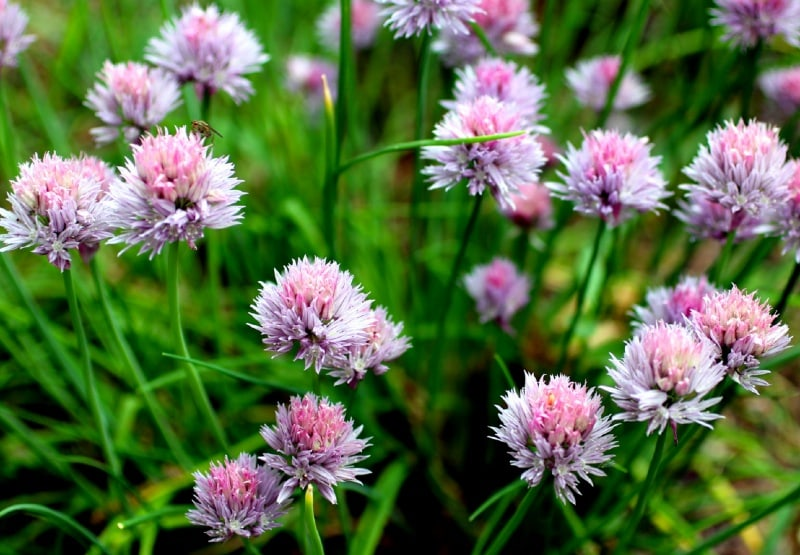 Allium Schoenoprasum How To Grow Chives