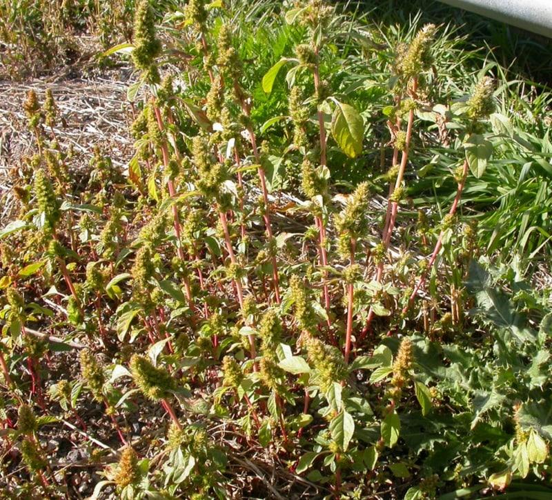 Common amaranth