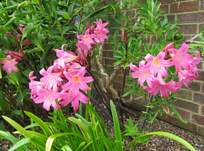 Berühmt Amaryllis Belladonna Growing Guide | How to Grow Belladonna Lily #GD_89