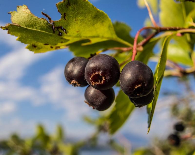 Amelanchier alnifolia berries