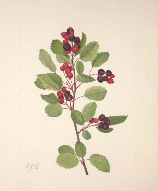Amelanchier alnifolia plant picture