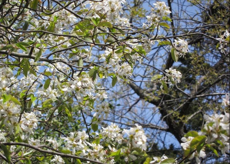 Amelanchier canadensis bloom