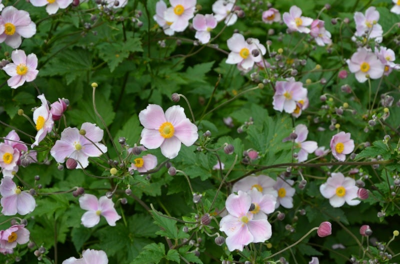 Japanese anemone bowless pink