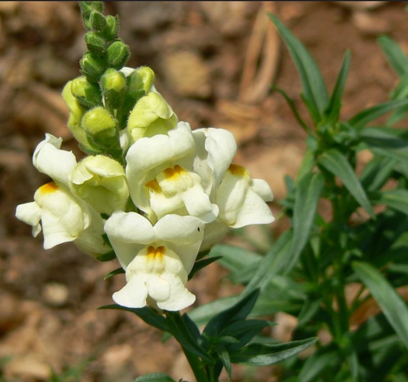 Antirrhinum majus cream flowers