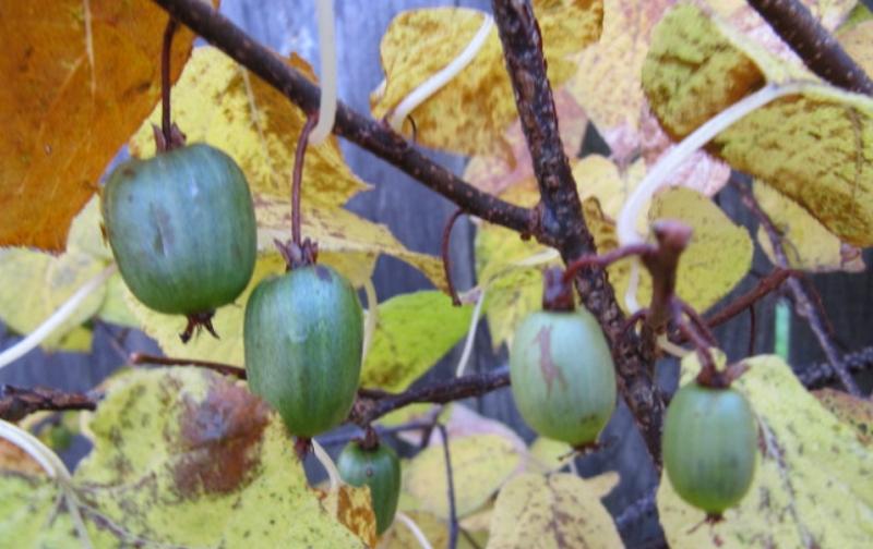 Arctic kiwis fruits