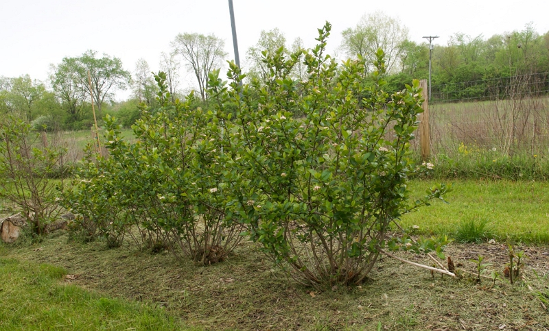 Aronia melanocarpa Plants