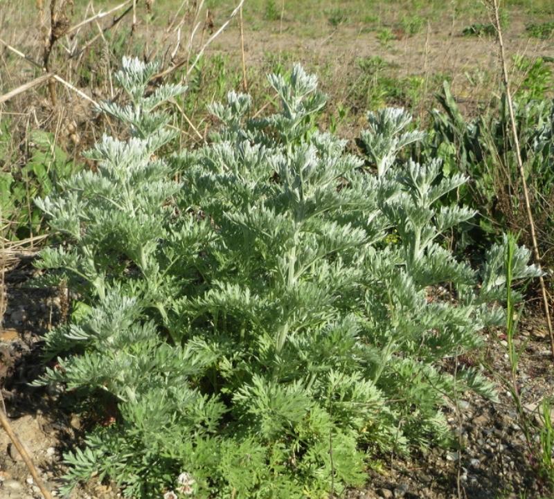 Artemisia absinthium plant