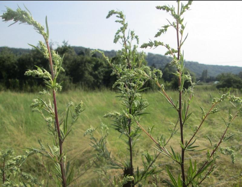 Artemisia vulgaris plant