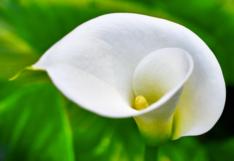 Arum Lily Flower Closeup