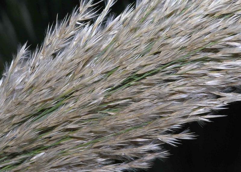 Arundo donax seed head