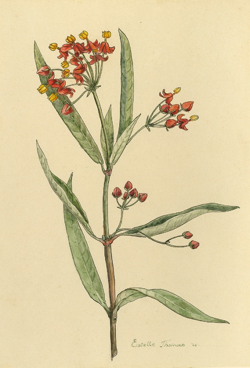 Asclepias curassavica plant picture