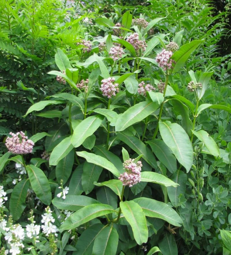 Common silkweed