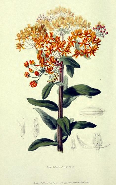 Asclepias tuberosa Botanical Diagram