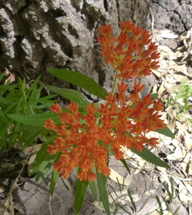 Asclepias tuberosa plant