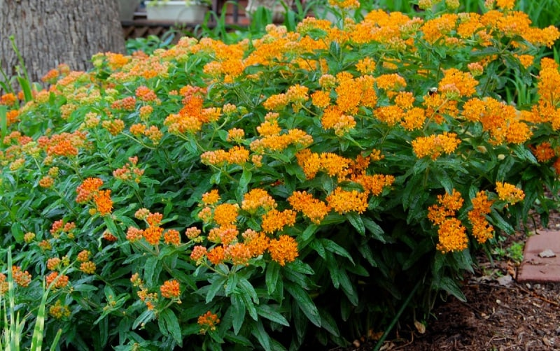 Asclepias Tuberosa How To Grow Butterfly Flower
